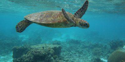 Las tortugas marinas pueden nadar a velocidades de 27 a 35 kilómetros por hora Foto:Getty Images
