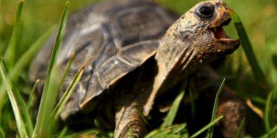 Su fuerte cuello está formado por ocho vértebras y no pueden meterla dentro del caparazón como las tortugas terrestres Foto:Getty Images