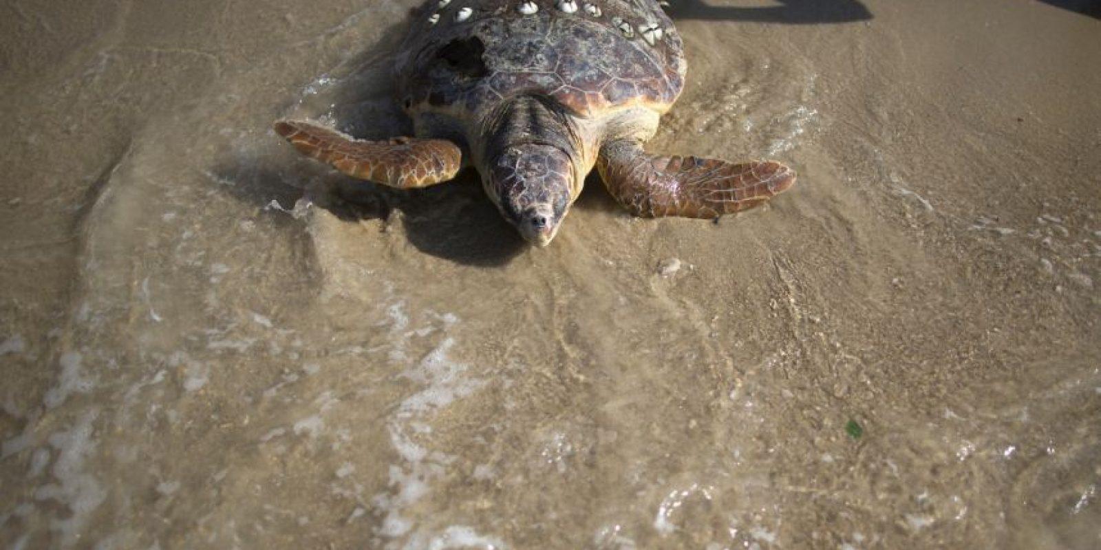 La mayoría de las especies de tortugas se encuentran en aguas poco profundas de bahías, lagunas y estuarios. Otras se adentran al mar abierto Foto:Getty Images