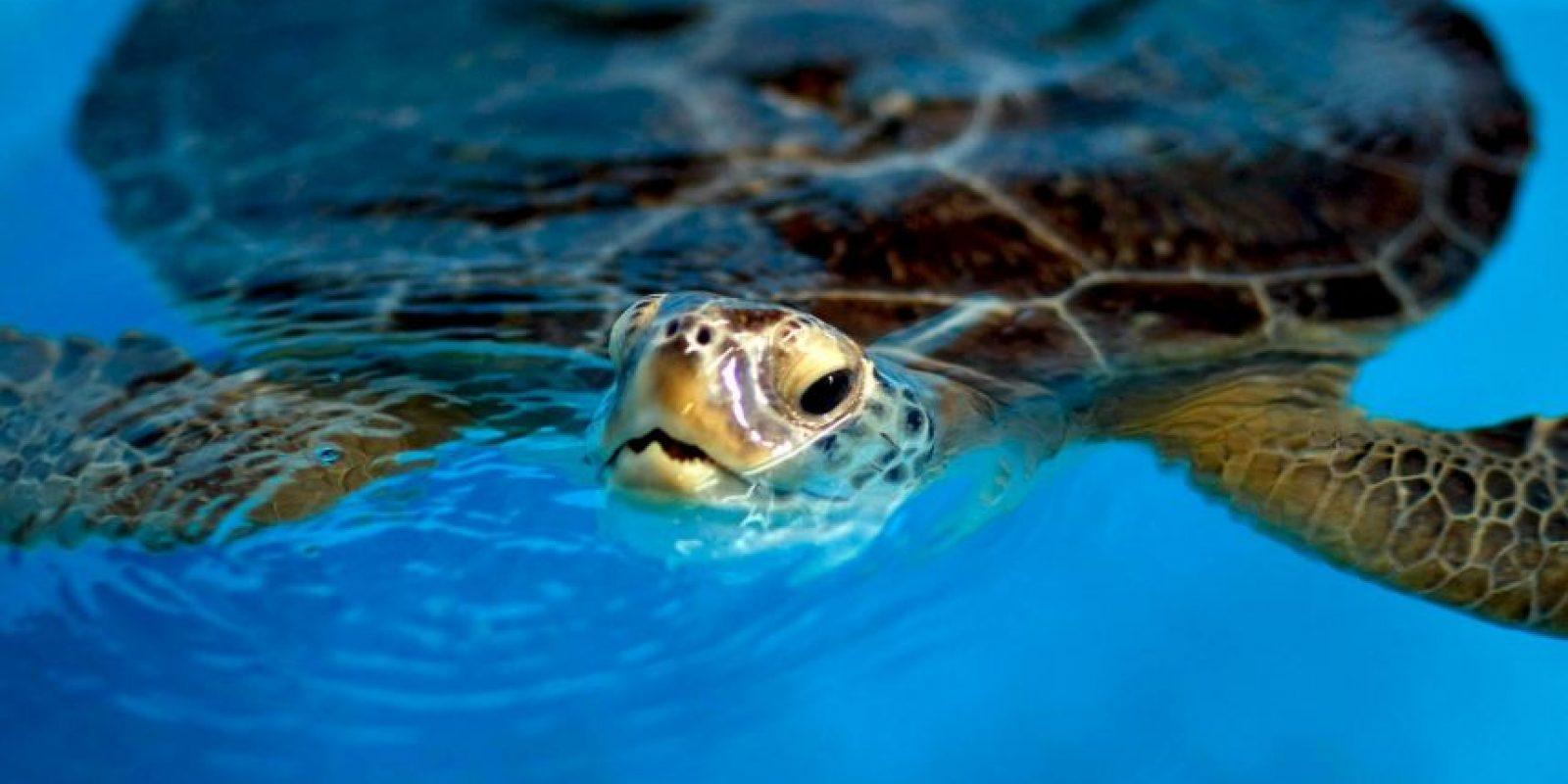Estas pueden nadar y contener la respiración por diez minutos para luego subir a la superficie a respirar Foto:Getty Images