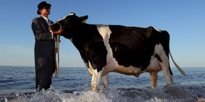 Vacas en el mar Foto: Getty Images