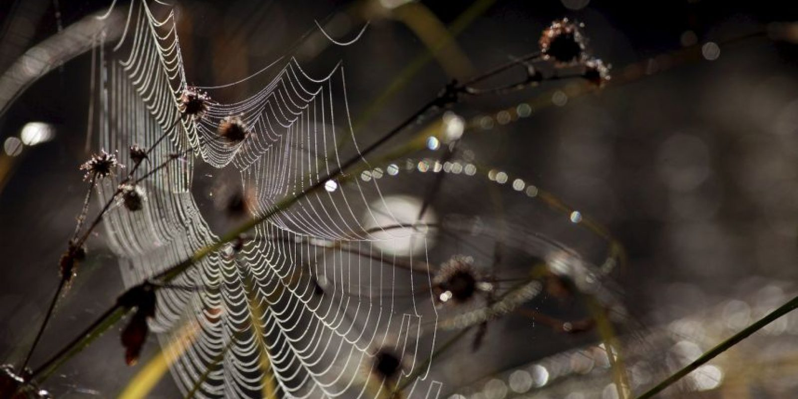 Su telaraña la usan como paracaídas. Foto:Getty Images