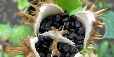 Estramonio: es una planta usada desde la antigüedad. Pero sus semillas oscuras son las más peligrosas. Esta es la que puede envenenar. Foto:vía Wikipedia