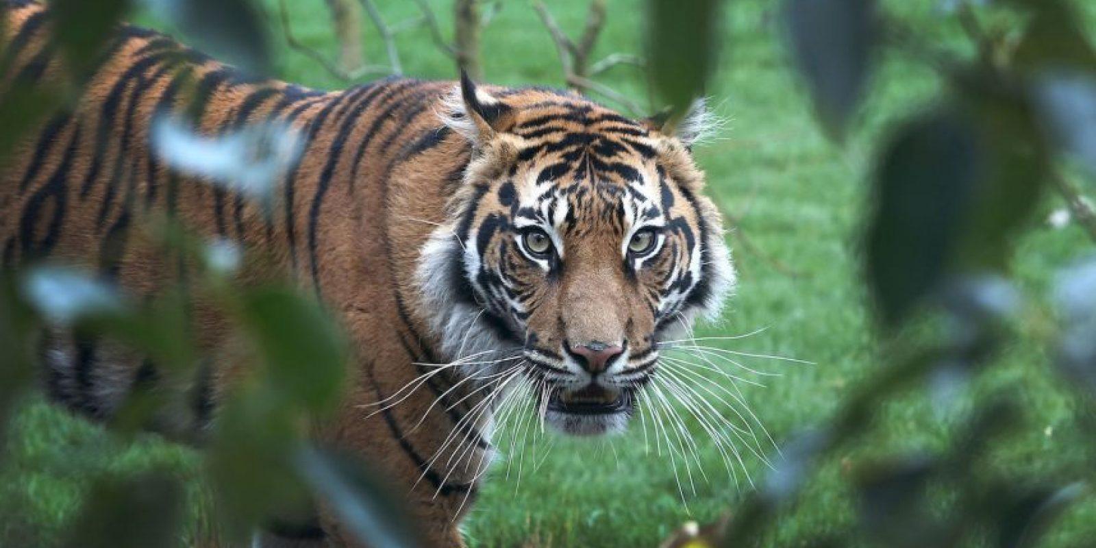 Dicho medio especifica que la población de estos tigres se ha reducido considerablemente a causa de la caza y de la deforestación. Foto:Getty Images