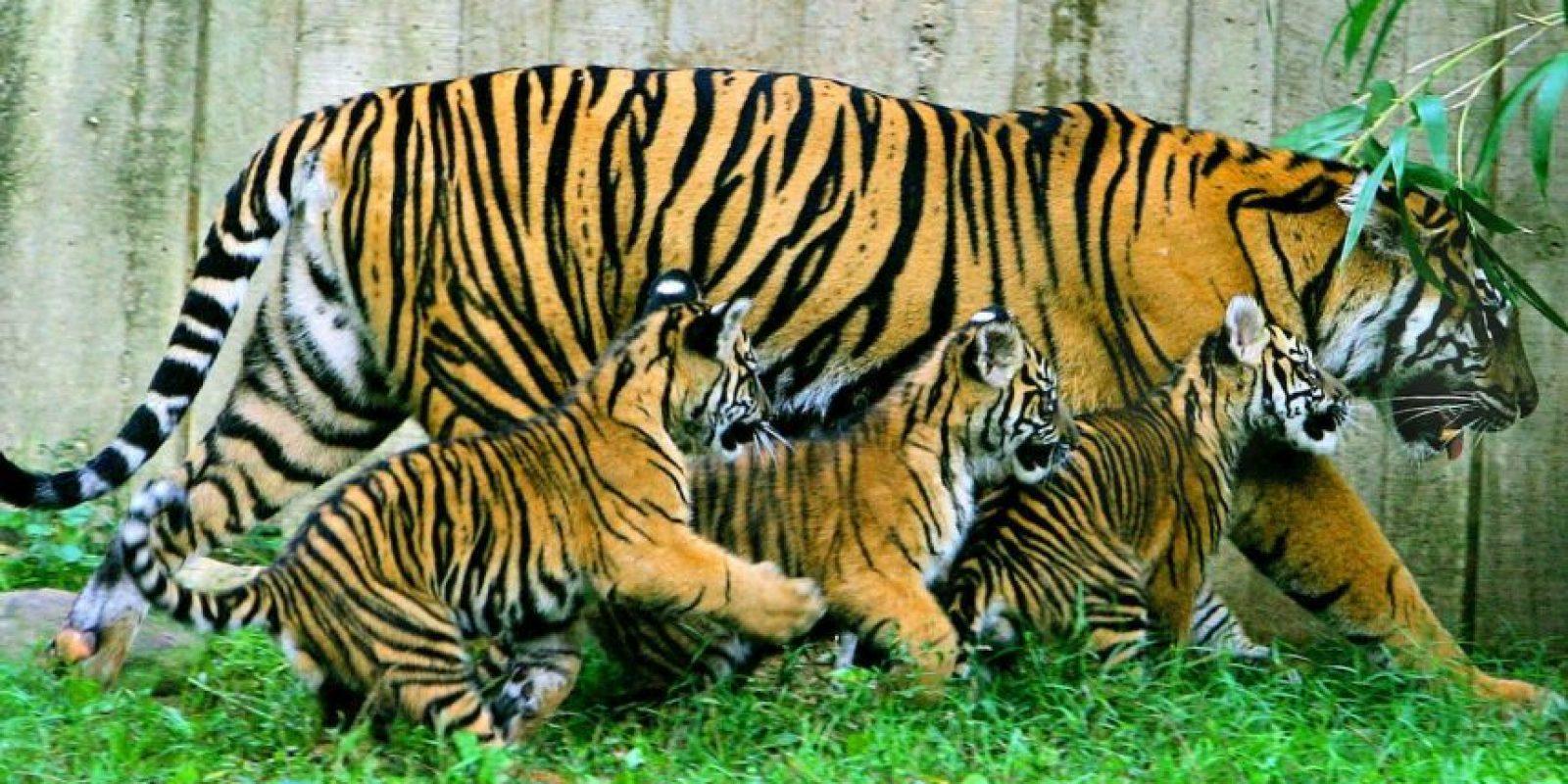 Según National Geogrephic, un rugido de un tigre se puede escuchar a tres kilómetros de distancia. Foto:Getty Images