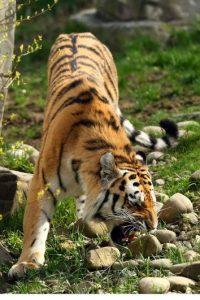 Según la revista estadounidense National Geographic estos mamíferos son conocidos por su fuerza. Foto:Getty Images