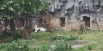 Los tigres de bengala son comunes en países como Nepal, India Banglaesh, Birminia, entre otros. Foto:Captura de pantalla