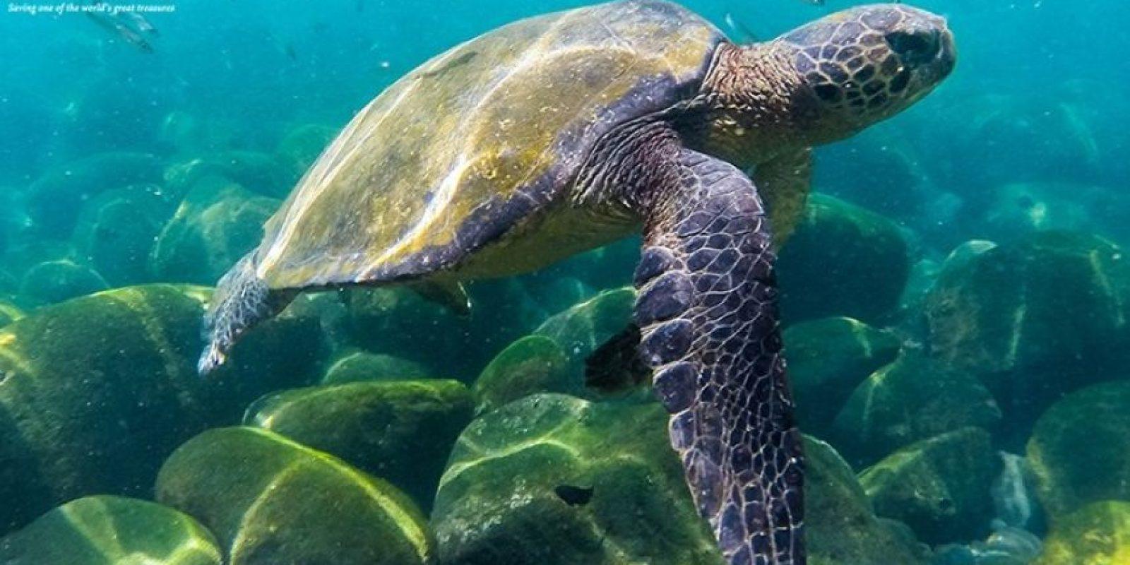 Tortuga verde de los Galápagos Foto:Facebook.com/GalapagosConservancy