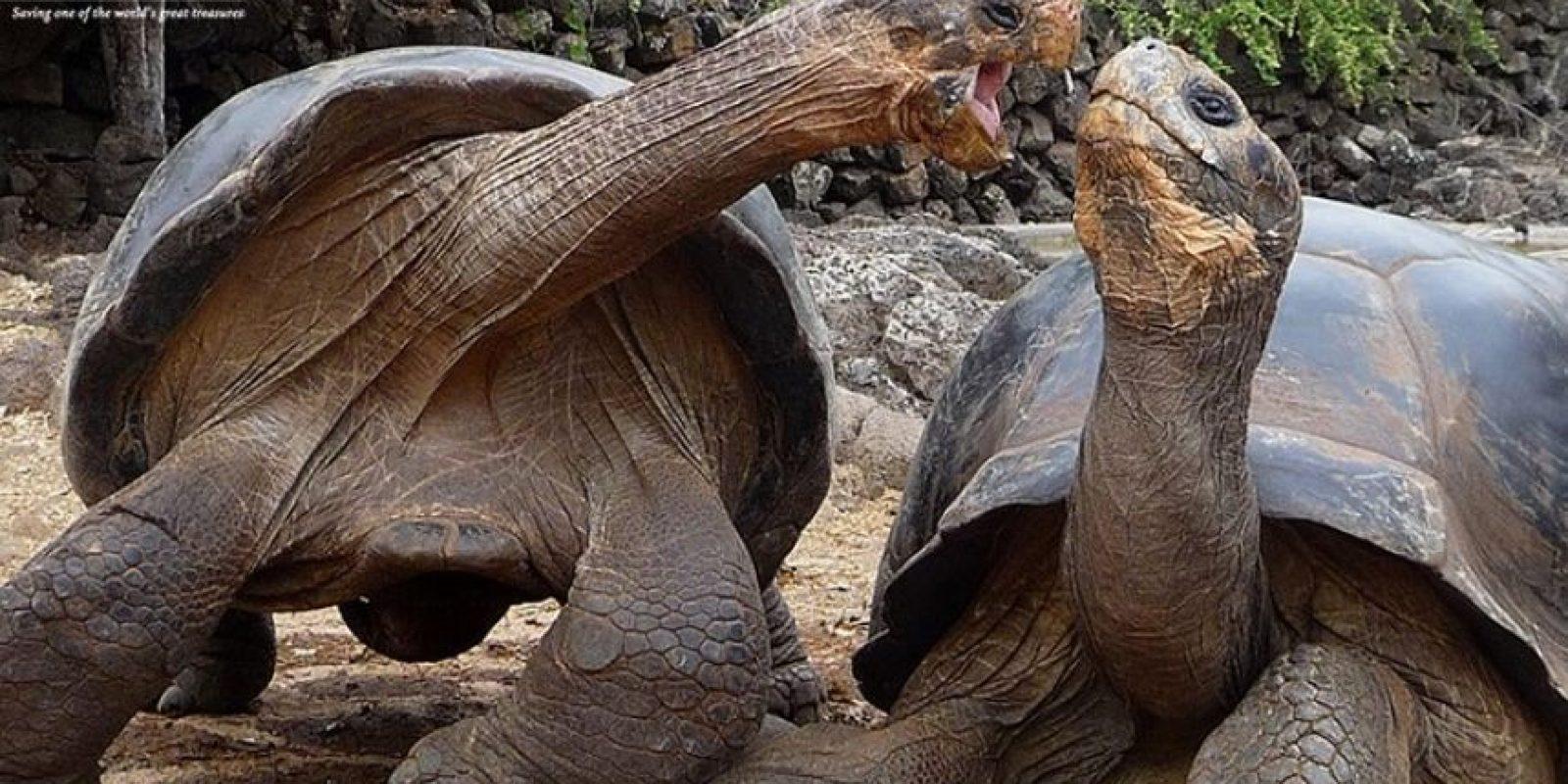 Tortugas gigantes de Galápagos Foto:Facebook.com/GalapagosConservancy