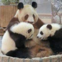 Mamá protegiendo a sus panditas Foto:IPanda