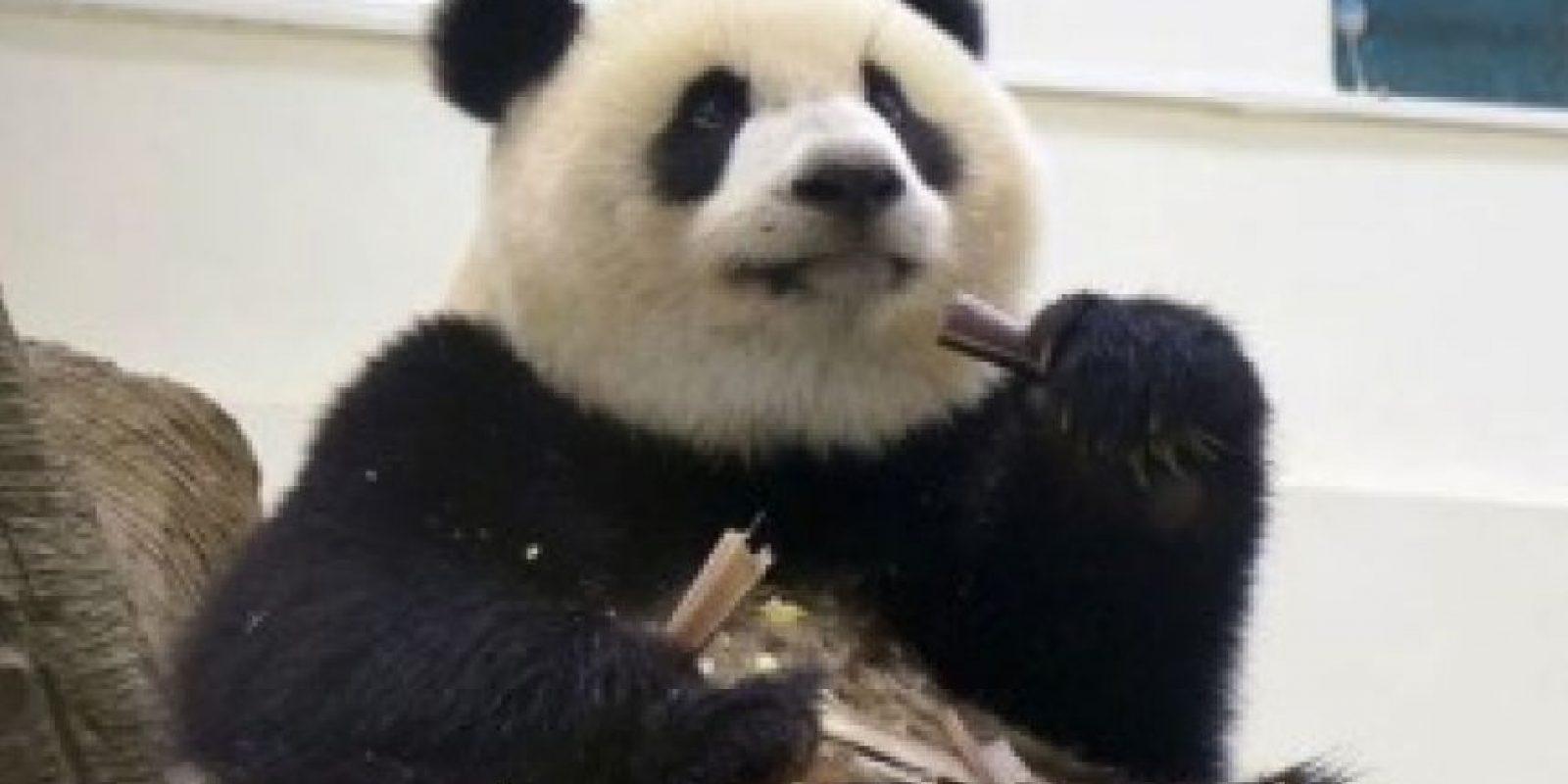 Comiendo mientras pone atención Foto:IPanda
