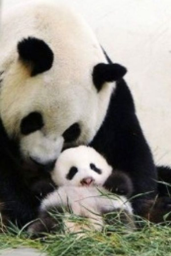 Consolando a su pequeño Foto:PandaNewsorg