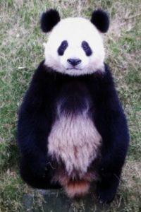 Modelo panda Foto:PandaNewsorg