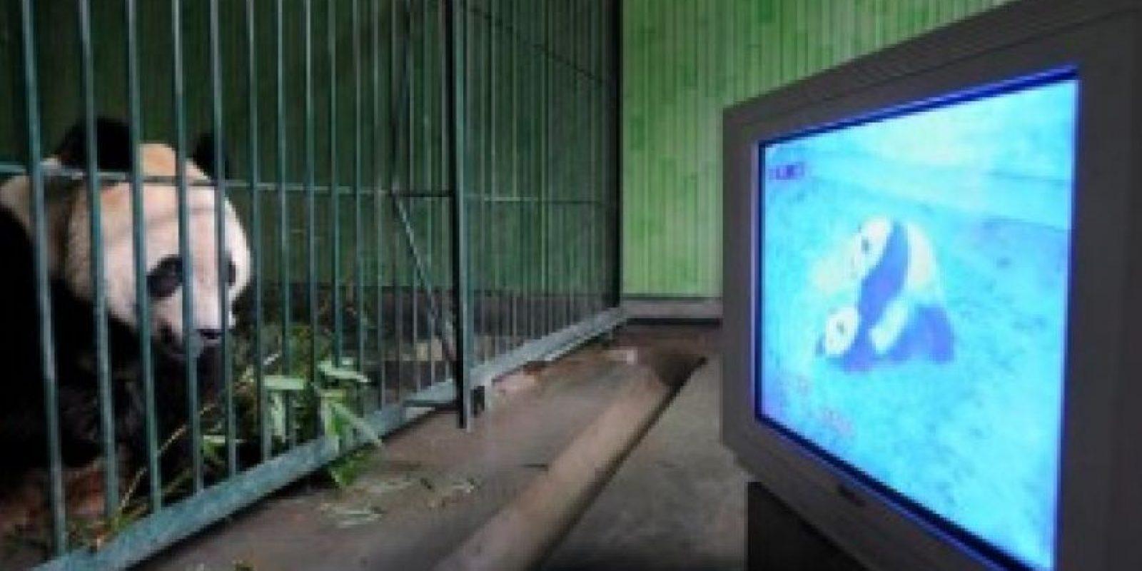 Panda informándose más respecto a su especie Foto:PandaNewsorg