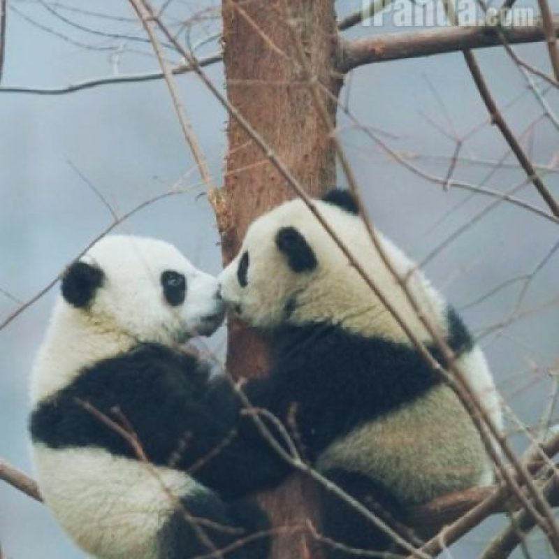 Amor de panditas Foto:PandaNewsorg