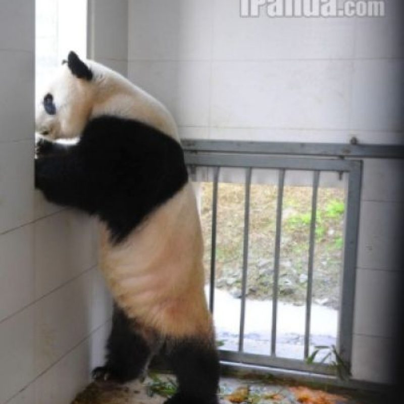 Observando a los demás panditas Foto:Ipanda