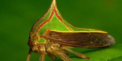 Umbonia spinosa: insecto espino. Se camuflan, precisamente como espinas, y se encuentran en el trópico. Ponen sus huevos en ramas nuevas de los árboles. Foto:vía Flickr