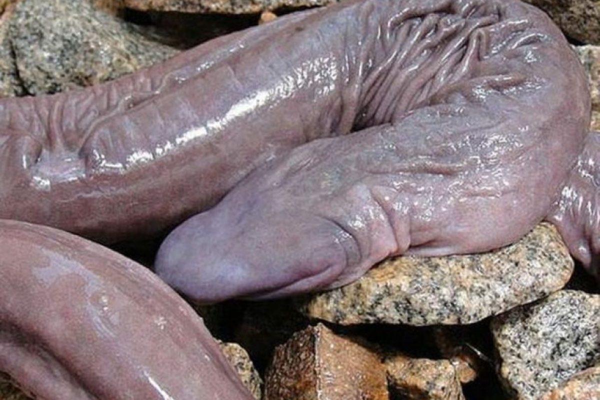 """Atretochoana eiselti : se le conoce también como """"serpiente pene"""" y está en regiones subtropicales. Se cree que respirar por la piel y que se alimenta de pequeños anfibios. Foto:vía Flickr"""