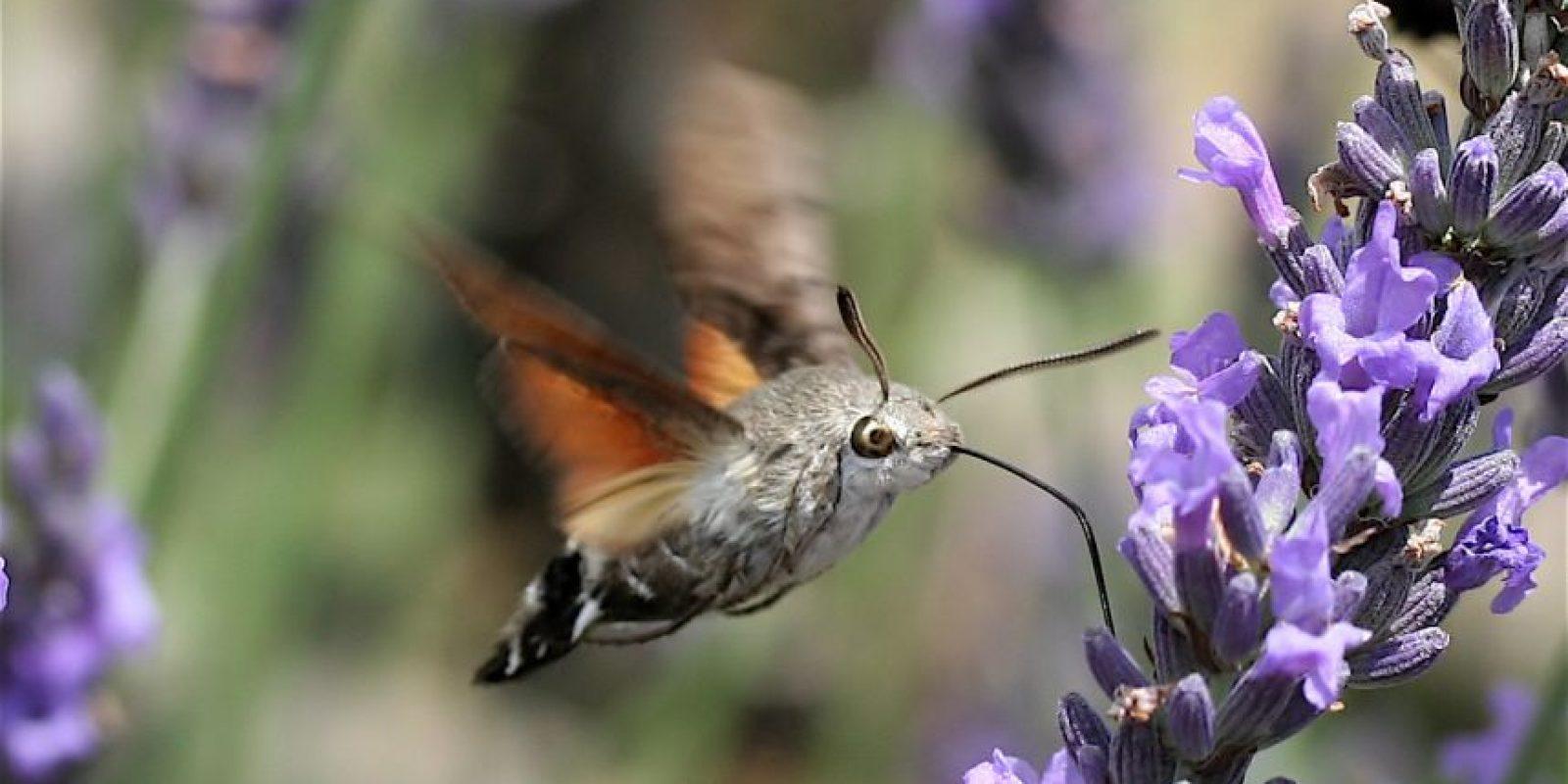 Polilla Colibrí: Se alimenta de las flores, de ahí su apodo. Foto:vía Wikipedia