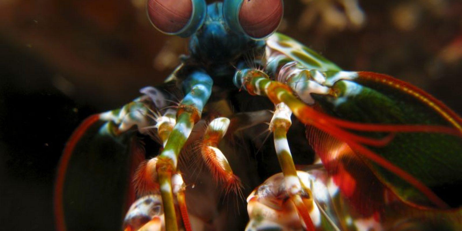 Mantis cangrejo: se les llama así a estos crustáceos por parecerse al famoso insecto. Tienen una larga vida y suelen vivir escondidos, en mares subtropicales. Foto:vía Wikipedia