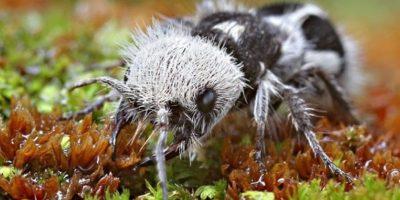 La hormiga panda vive en Chile y fue descubierta en 1938. Está más relacionada con las abejas. Foto:vía Wikipedia
