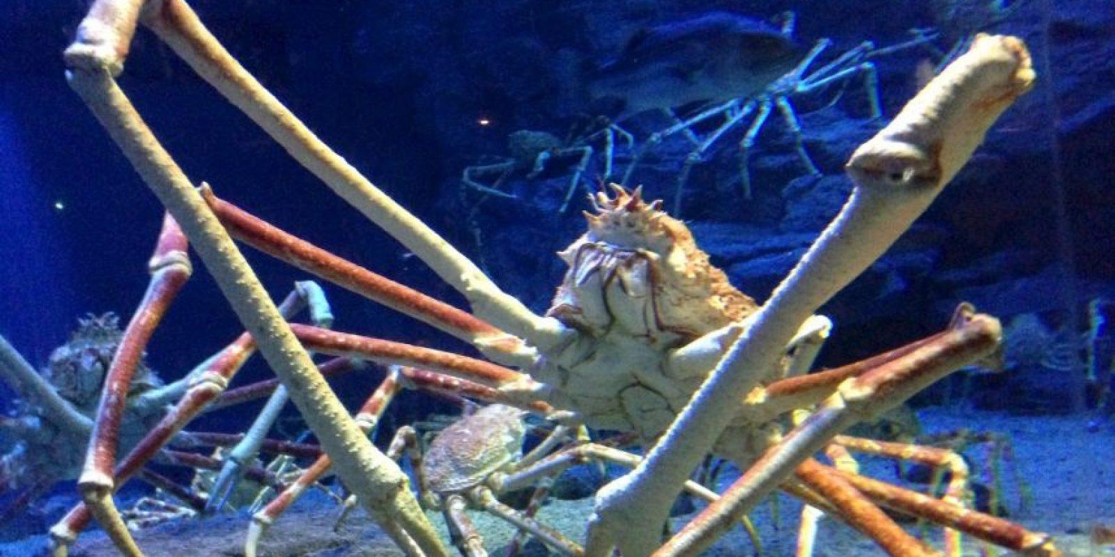 Cangrejo araña: es el artrópodo vivo más grande del mundo. Sus patas llegan a medir dos metros. Es ciego. Foto:vía Wikipedia
