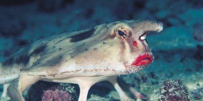 Pez Murciélago de labios rojos: se halla en la Isla Galápagos. Tiene aletas que le permiten caminar. Se alimenta de peces más pequeños. Foto:vía Imgur