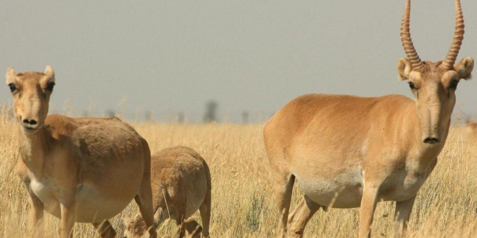 Antílope Saiga: Vive en las estepas de Europa y Asia. Se cree que con su nariz filtra el polvo y el frío. Foto:vía WWF