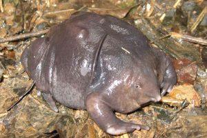 Rana púrpura india: vive en las Seychelles y está en peligro de extinción. Fue descubierta en 2003. Foto:vía Imgur