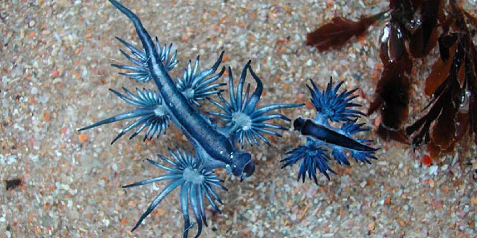 """Glauco Atlántico: se le conoce como el """"dragón azul"""". Foto:vía Paulphynos"""
