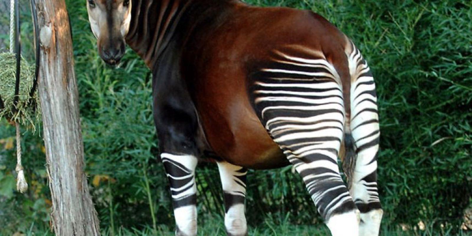 Okapi: viven en África y duran más de un año embarazadas de su cría, que será la única. Viven en pequeños grupos. Son herbívoros. Foto:vía Maryland.zoo.org