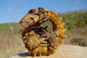 Dragón espinoso: vive en el desierto australiano y bebe a través de su piel. Come hormigas. Foto:vía Imgur