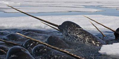 Narvales: fueron descubiertos hace 300 años y están en peligro de extinción. Con su cuerno encuentran el sonido de otros de su especie. Foto:vía WWF