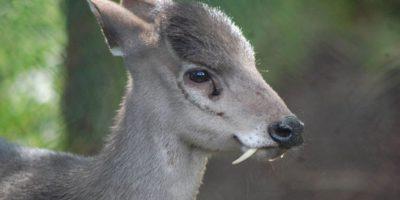 Mochus: estos ciervos con colmillos son llamados ciervos almizcleros y fueron vistos después de 60 años de hallados en Afganistan. Los están extinguiendo por su caza furtiva. Foto:vía Zoochat