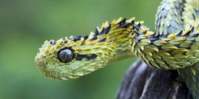 Serpiente arbusto: se camufla con la vegetación y vive en África. Caza de noche. Foto:vía Imgur