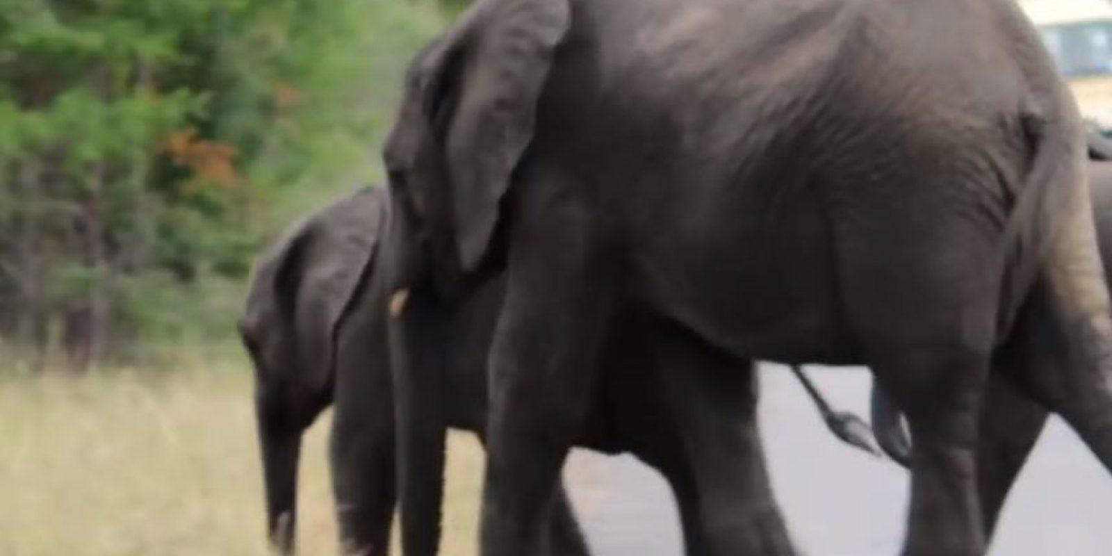 Al final, el pequeño retomó el camino. Foto:vía Youtube/Kruger Sightings