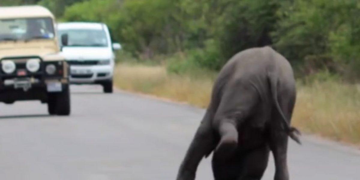 VIDEO: Este bebé elefante colapsó y no creerán lo que hizo su manada por él