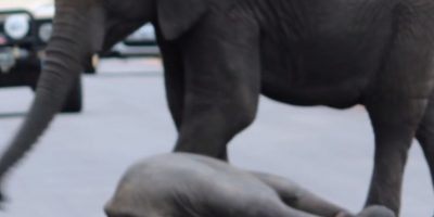 De pronto, llegó un elefante más grande para reanimarlo. Foto:vía Youtube/Kruger Sightings