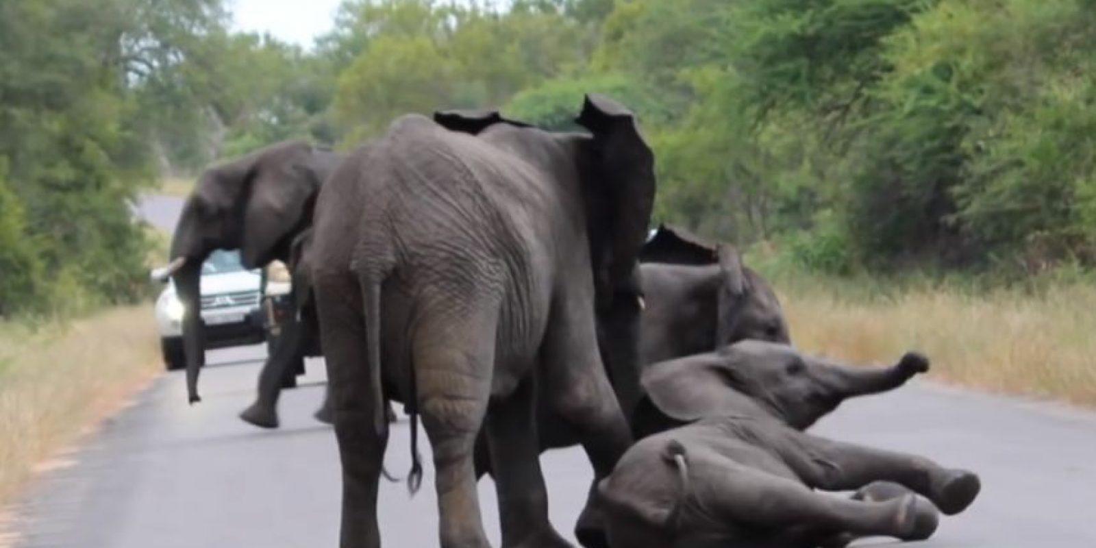 El primero que llegó se quedó con otro y luchó para levantarlo. Foto:vía Youtube/Kruger Sightings