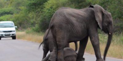 Estaba con otro más pequeño y lo protegieron. Foto:vía Youtube/Kruger Sightings