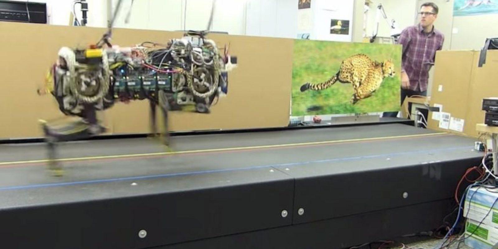 Está inspirado en un animal carnívoro llamado guepardo, también conocido como chita. Foto:MIT
