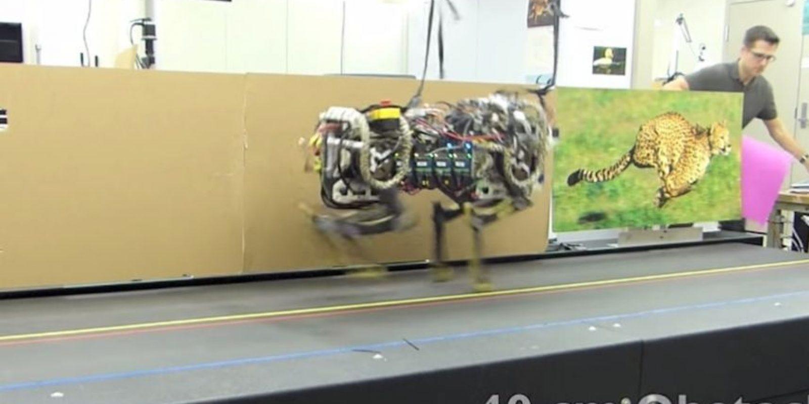El robot saltando obstáculos de 40 cm de altura. Foto:MIT