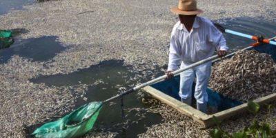 Durante días los pescadores notaron un inusual número de peces muertos. Foto:AFP