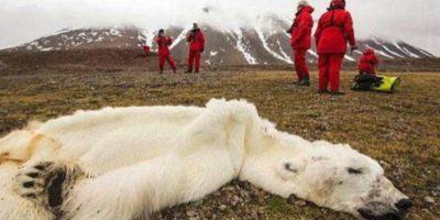 Este oso polar fue encontrado muerto en el Océano Ártico en 2013. Según publicó el diario The Guardian, el oso, que terminó reducido a piel y huesos debido a la escasez de hielo para cazar sus presas. Foto:Vía Twitter @raulbrindis