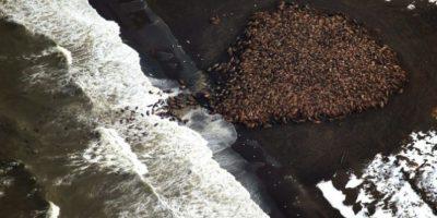 Más de 35 mil morsas llegaron del Océano Pacífico a Alaska este semana, debido a la escasez de témpanos de hielo, reportó la Administración Nacional Oceánica y Atmosférica de Estados Unidos (NOAA, por sus siglas en inglés). Foto:Vía facebook.com/NOAA