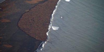 Estas imágenes conmocionaron al mundo recientemente, ya que ponían al descubierto el grave daño que el cambio climático le ha hecho a diversas especies. Foto:Vía facebook.com/NOAA