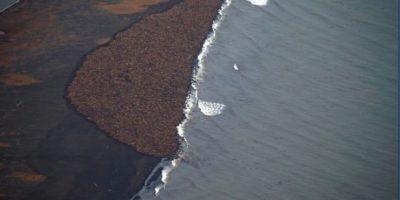 Cuando no tienen témpanos para descansar las morsas se dirigen a las playas. Foto:Vía facebook.com/NOAA