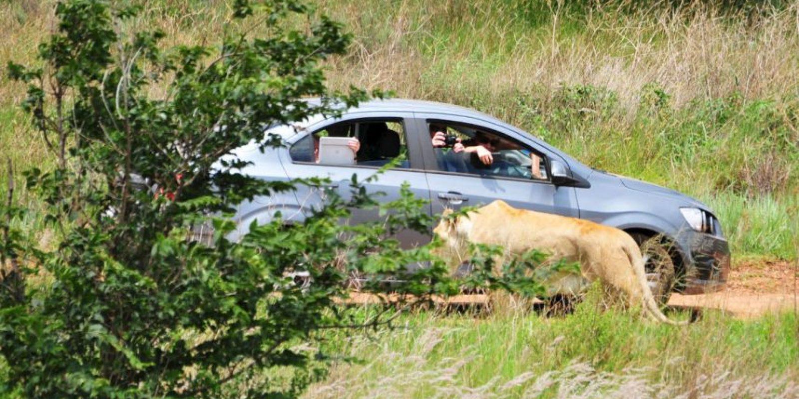 Una mujer de 22 años ignoró las precauciones de seguridad en el Lion Park. Foto:vía Barcroft Media