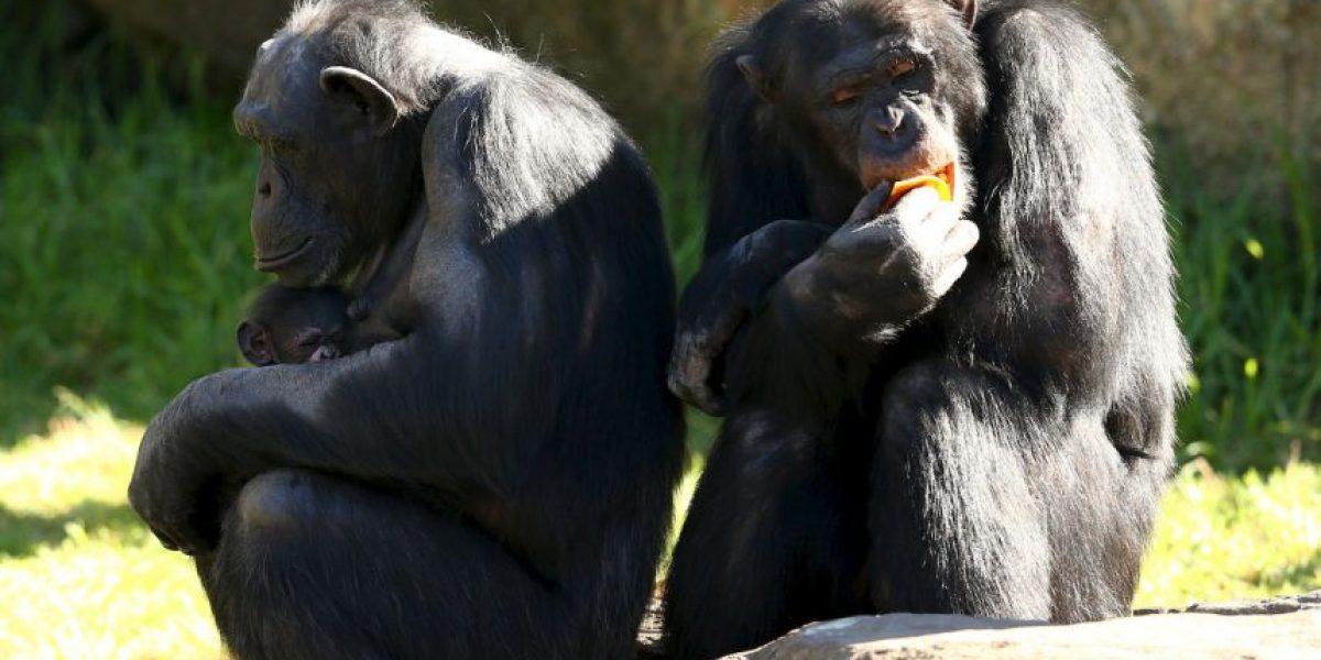 Estudio: Los chimpancés tienen la capacidad de cocinar