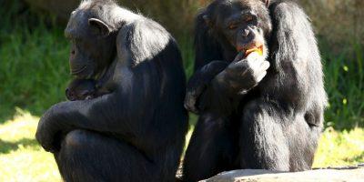 Al parecer los chimpancés tienen la capacidad para cocinar. Foto:Getty Images